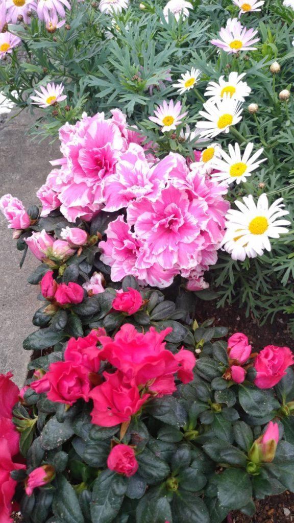 アザレアの花