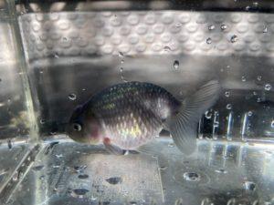 10月の金魚
